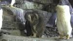 Nacen en el Oceanogràfic de Valencia 5 crías de pingüinos juanito