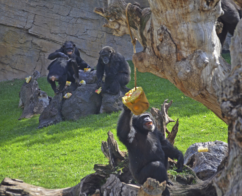BIOPARC Valencia - enriquecimiento ambiental verano 2016 - chimpancés (2)