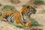 Fallece una trabajadora en un parque de animales de Benidorm al ser atacada por un tigre.