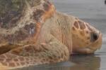 La Guardia Civil colabora con la red de varamientos en la protección de las tortugas marinas.