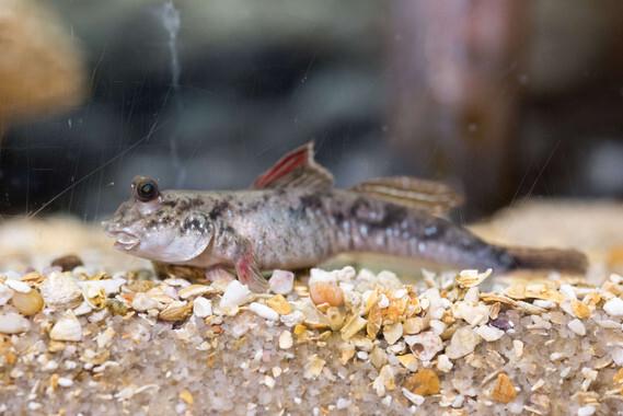 El pez del fango(Periophthalmus) utilizan su cola para moverse por la superficie del mismo modo que los primeros animales terrestres. / Rob Felt. Georgia Tech.