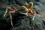Los cangresos arañas gigantes, los preferidos por los niños que visitan el Oceanogràfic.