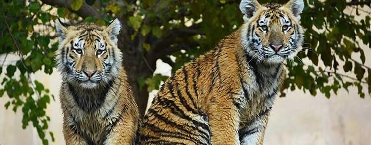 Tigres en un parque de animales.