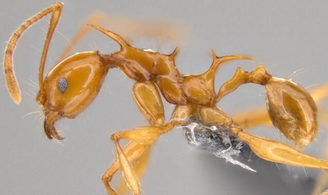 Viserion-y-Drogon-dos-hormigas-inspiradas-en-Juego-de-Tronos_image_380