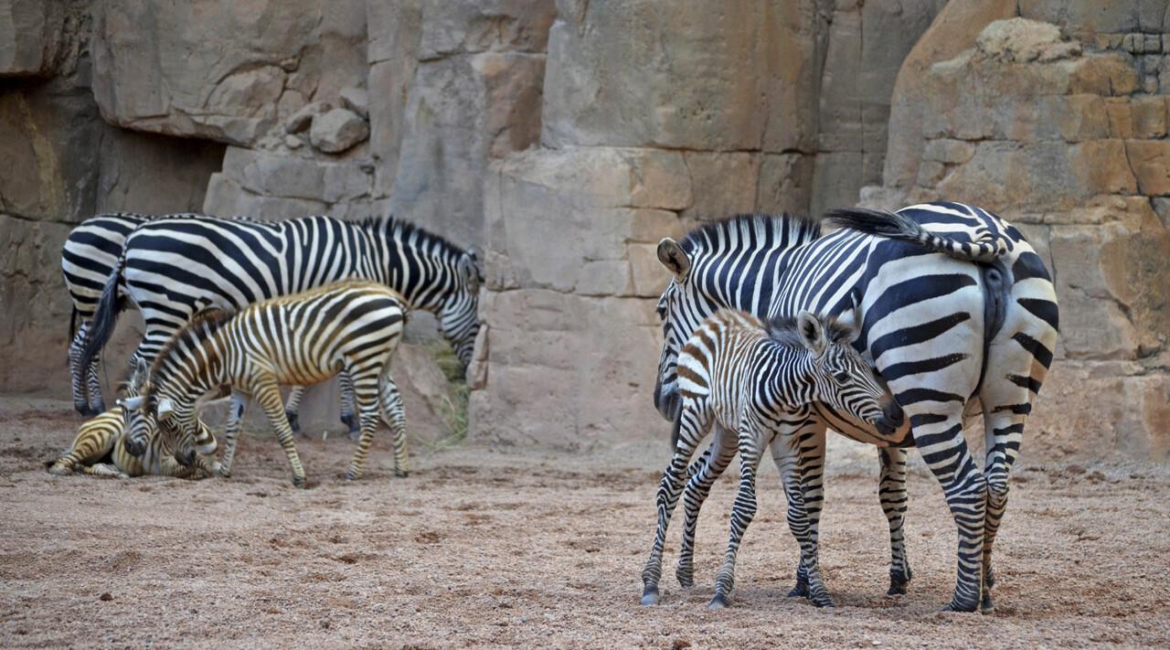 3 crías de cebra nacidas este año en BIOPARC Valencia 2016 (2)