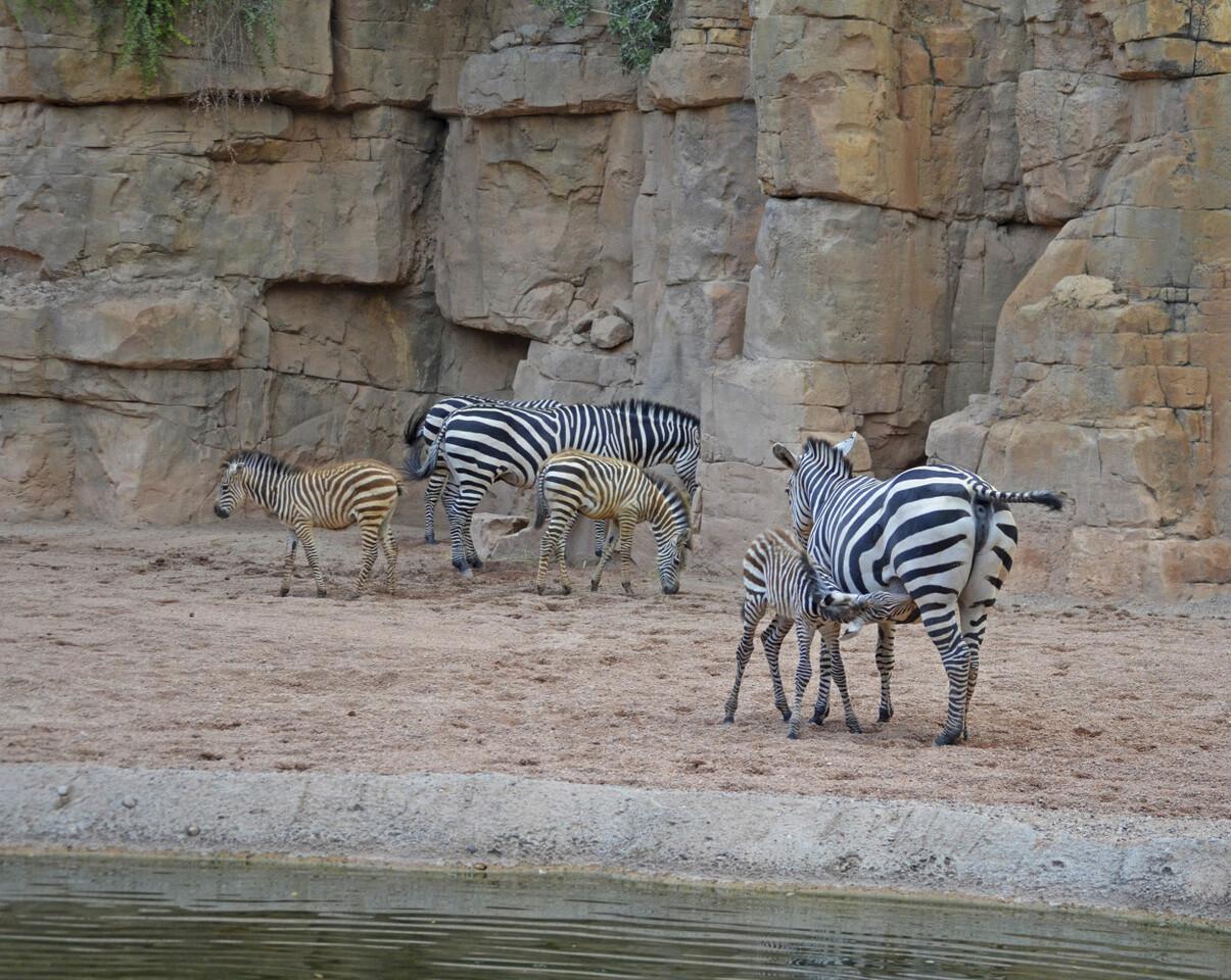 3 crías de cebra nacidas este año en BIOPARC Valencia 2016 (3)