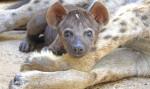 Cachorro de hiena con 8 semanas de vida - BIOPARC Valencia - cobijo interior