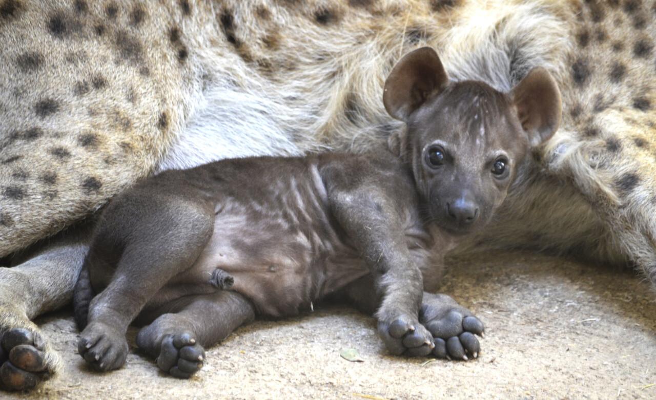 Cachorro de hiena con 8 semanas de vida junto a su madre - cobijo interior de BIOPARC Valencia