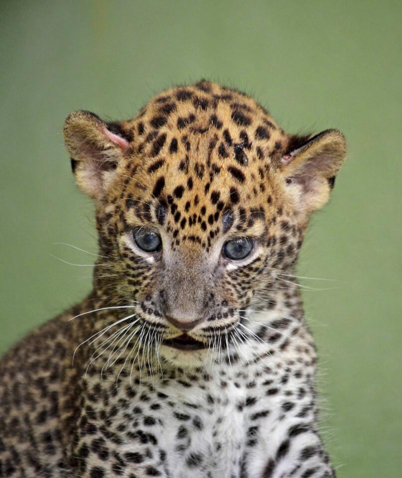 Cachorro de leopardo - BIOPARC Valencia - agosto 2016 (4)