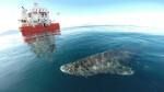 El-tiburon-de-Groenlandia-nuevo-record-de-longevidad-entre-los-vertebrados_image_380