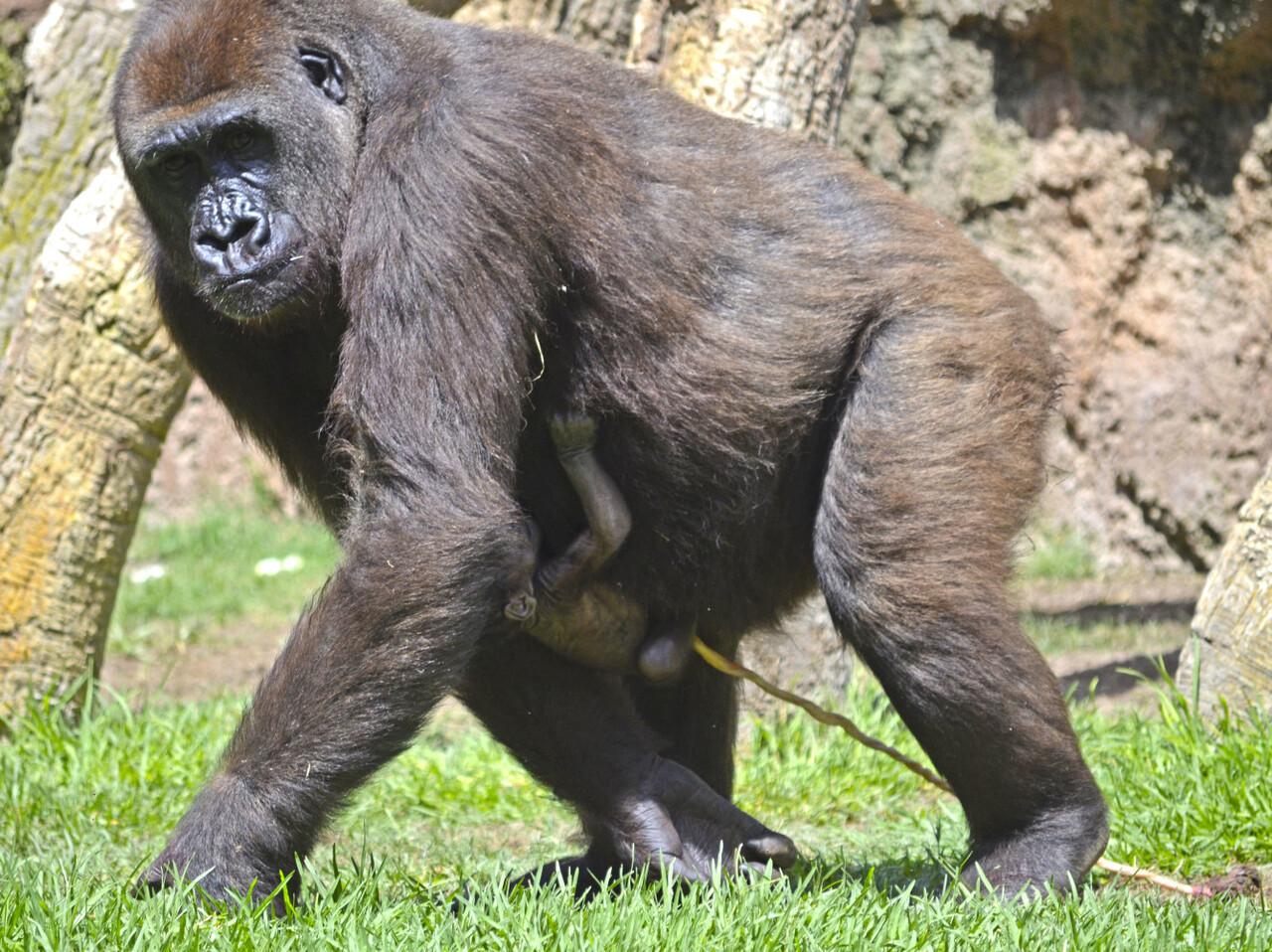 Gorila recién nacido en BIOPARC Valencia - 17 agosto 2016 (4)