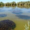 Las aportaciones de agua menos contaminada y la vigilancia de los vertidos devuelven las praderas de vegetación acuática a la Albufera.