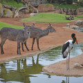 Los kobos Chanel y Jaiv explorando la sabana africana de BIOPARC - 2016 (3)