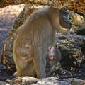 Nueva cría de dril en BIOPARC - Kianja con su cría recién nacida (2)