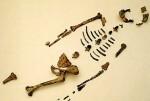 Un estudio científico determina que el famoso homínido Lucy murió al caerse de un árbol.