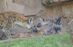 bioparc-valencia-primeros-dias-del-cachorro-de-hiena-en-la-sabana-4