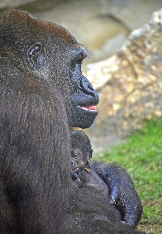 Bebé gorila recién nacido en BIOPARC Valencia - septiembre 2016