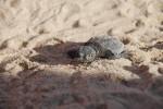 tortugas_marinas_Albufera_(5)