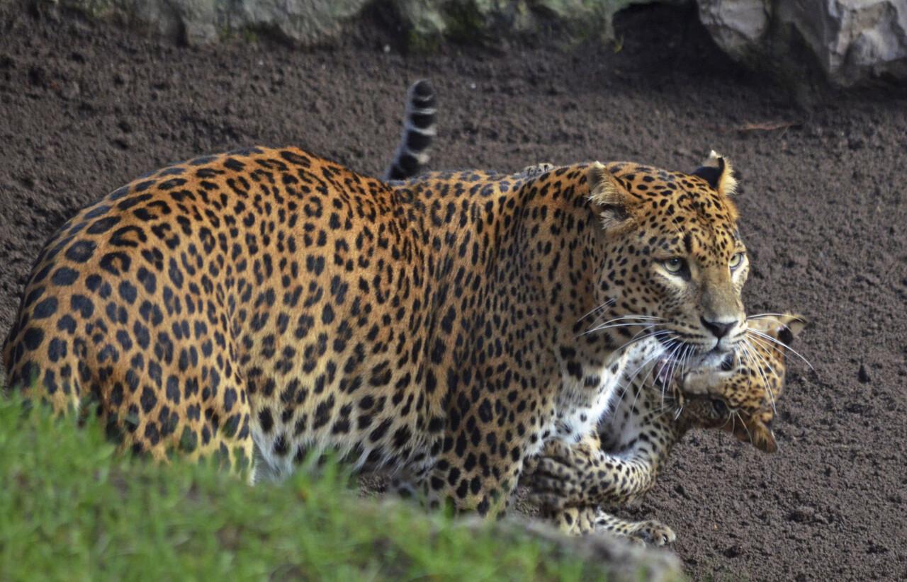 bioparc-valencia-leopardos-madre-y-cachorro-primer-dia-en-el-bosque-ecuatorial-6