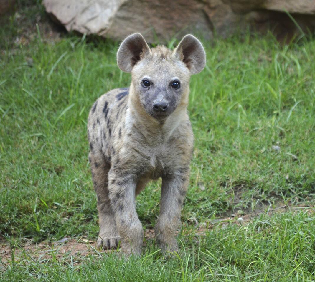 cachorro-de-hiena-sabana-africana-de-bioparc-valencia-2016