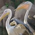 cinco-pelicanos-llegan-al-oceanografic