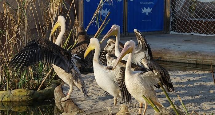 cuatro-polluelos-y-un-adulto-de-pelicano-blanco-llegan-al-lago-vivo