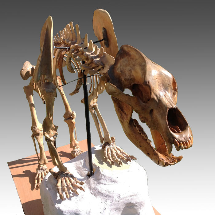 img-esqueleto-oso-cavernas-en-subasta