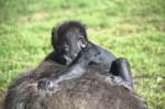 la-bebe-gorila-nacida-en-bioparc-valencia-cumple-2-meses-de-vida