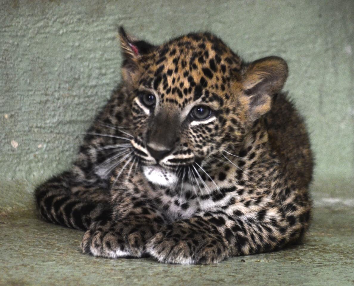 octubre-2016-cachorro-de-leopardo-cobijo-interior-de-bioparc-valencia-5