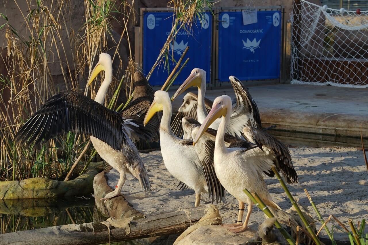 pelicanos_oceanografic_valencia_2