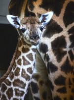 cobijo-interior-de-bioparc-valencia-cria-de-jirafa-baringo-recien-nacida-noviembre-2016-4