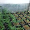 desarticulan-criminal-dedicado-marihuana-incautan_984511941_119380167_667x375