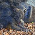 la-bebe-gorila-virunga-junto-a-su-padre-mambie-en-bioparc-valencia-noviembre-2016