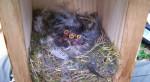 Polluelos de dos días de edad en el interior del nido. / Carolina Remacha