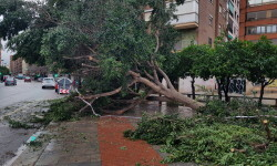 Árboles caídos en la ciudad de Valencia por el temporal (4)