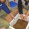 El gallipato u ofegabous, único anfibio urodelo que habita en la Comunidad Valenciana, estará en BIOPARC Valencia. (bj)