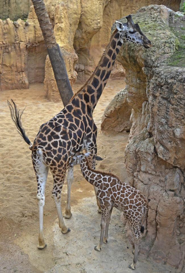 enero-2017-jirafas-de-rothschild-madre-y-cria-bioparc-valencia
