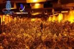 intervenidas-17-000-plantas-de-marihuana-cultivadas-en-naves-industriales-por-una-red-de-ciudadanos-espanoles-y-chinos
