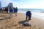 Vuelve al mar desde la playa de Calpe una tortuga marina recuperada en el Oceanogràfic.
