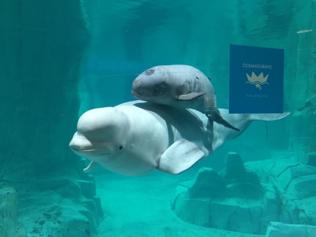 beluga_oceanogràfic_2