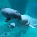 beluga_oceanogràfic_4
