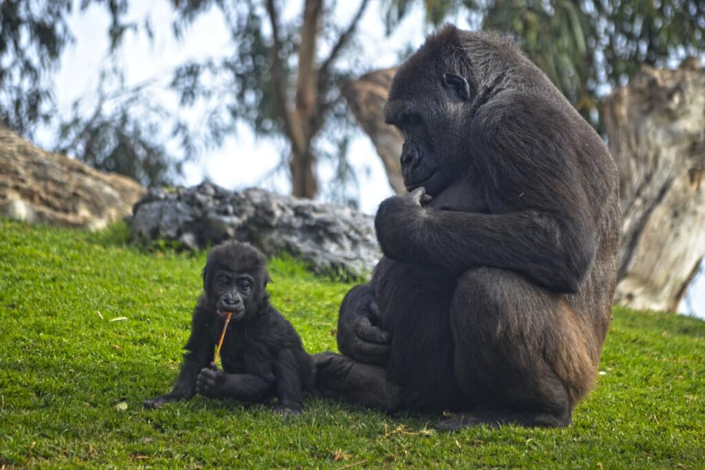 BIOPARC Valencia - 9 años de amor por la naturaleza - La gorila Nalani y su bebé Virunga