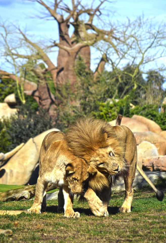 BIOPARC Valencia - 9 años de amor por la naturaleza - leones en el kopje africano