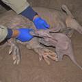 Bebé oricteropo - cerdo hormiguero - recién nacido en BIOPARC Valencia bj
