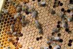 A principios de siglo miles de abejas empezaron a desaparecer de sus colmenas. / UCO