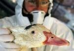 gripe-aviar-pato