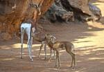 Crías de gacela Mhorr en la Sabana africana de BIOPARC Valencia - marzo 2017 (2)