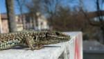 La lagartija roquera (Podarcis muralis) que convive con humanos se acostumbra a ellos y se refugia cada vez menos cuando estos se aproximan. / Daniele Pelliteri-Rosa