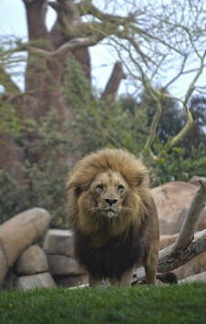 El león Teimoso en la Sabana africana de BIOPARC Valencia