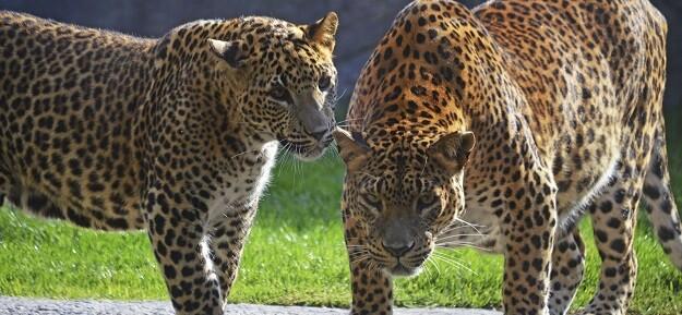 Leopardos en el bosque ecuatorial de BIOPARC Valencia.